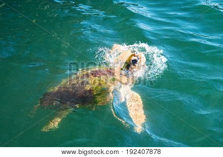 Sea Turtle, coming up to the top for food.