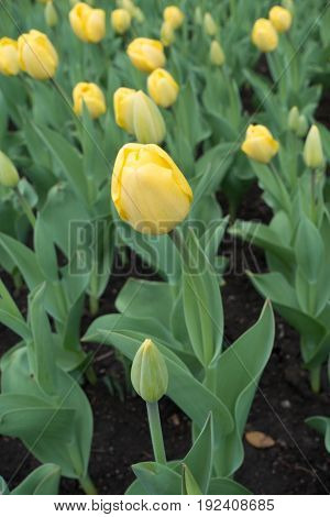 Bright Yellow Flowers And Buds Of Tulips