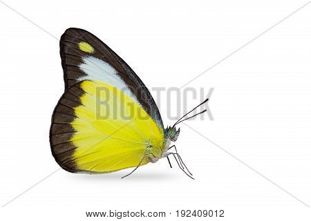 Close up of Chocolate Albatross (Appias lyncida) butterfly isolated on white background with clipping path