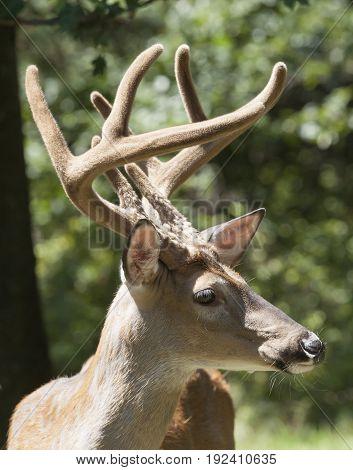 Deer White Tail Buck Close Up Portrait