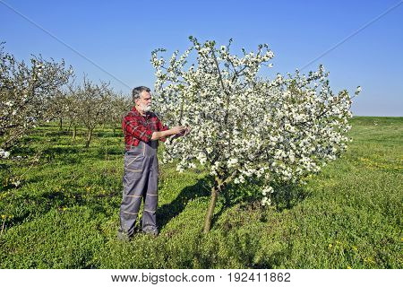 Farmer analyzes flower cherry orchard and using a tablet device.