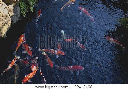 Fancy carp or Koi fish swimming at pond in Japanese garden
