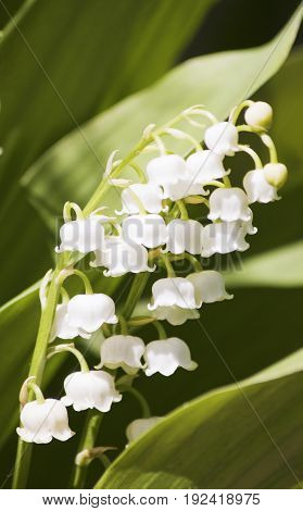 Spring flowering plant white lily, Spring flowering plant white lily,
