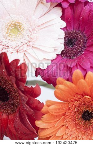 bouquet of gerberas on white background .