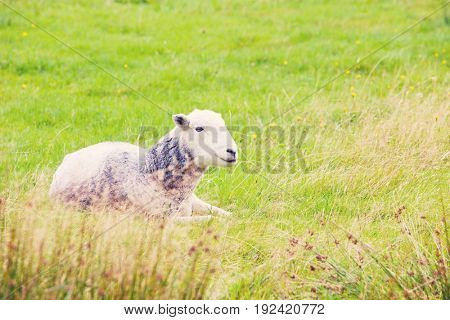 Sheep relaxing in field