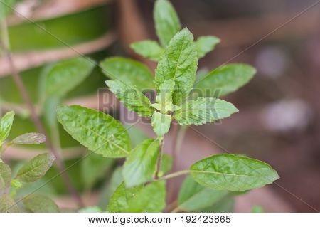 Holy basil is one of the most favorite ingredient in Thai dishes. Thai people eat like herbs and they use as same as Ayurveda as well.