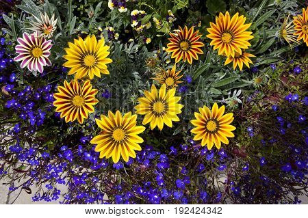 background image of bright yellow gazania flowers with lobelia bedding plants in summer