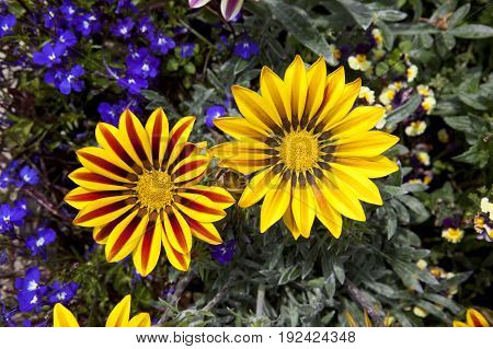 aerial view of bright yellow and red gazania blooms with purple lobelia bedding plants in summer