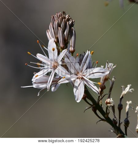 Summer asphodel flower, which is a wild plant,Asphodelus albus,island Majorca,
