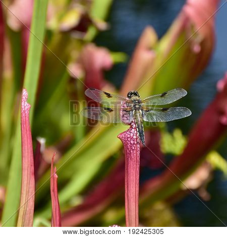 dragonfly siting on sarracenia minor carnivorous plant