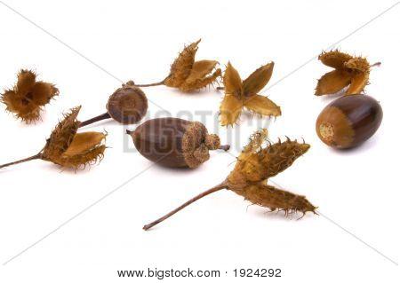 Beech And Acorn Seeds 2