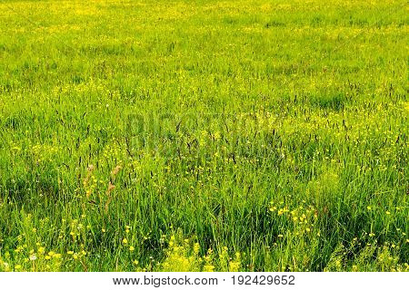 Summer Field, Green Juicy Grass, Buttercups And Dark Spikelets