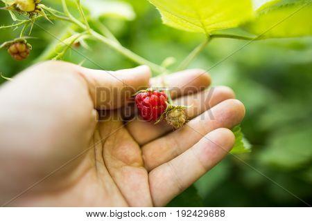 Juicy red berry raspberries in hand in the garden .