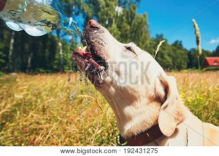 Summer day with dog in nature. Thirsty yellow labrador retriever drinking water from the plastic bottle