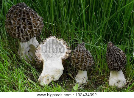 Morchella pragensis meals, spring mushroom shot in the Czech Republic, Europe