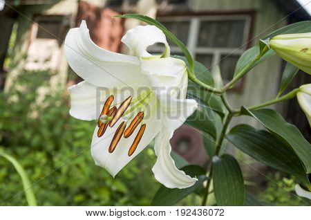 White lily is blooming in the garden. summer flowers
