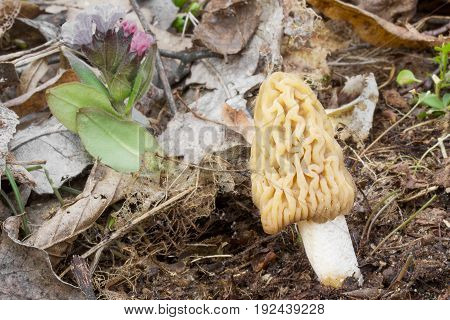 Verpa bohemica food, spring mushroom shot in the Czech Republic, Europe mushroom shot in the Czech Republic, Europe