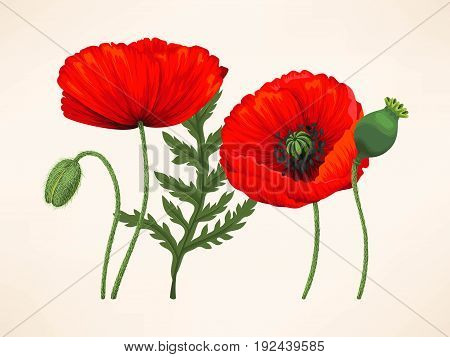 Vector set of red poppy flowers, buds and leaves