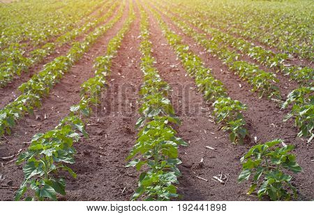 Large Field Of Young Green, Not Blooming Sunflower Growing In A Farm. Growing Rural Economic Crops.