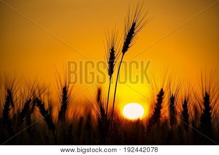 Spikelets Of Wheat Close Up On A Background Sunset. Grain Harvest In Summer.
