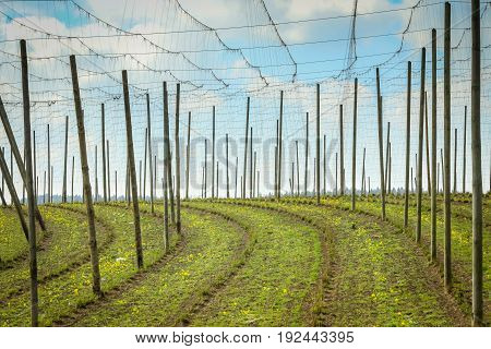 Cultivated hop fields in spring under the cloudy sky in Bavaria Germany.