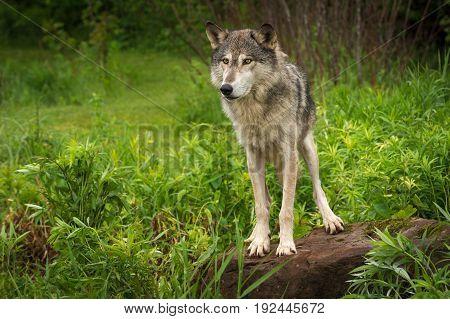 Grey Wolf (Canis lupus) Alert Atop Rock - captive animal