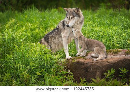 Grey Wolf (Canis lupus) Pup Begs From Adult - captive animals