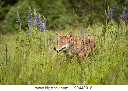 Coyote (Canis latrans) in the Grass - captive animal