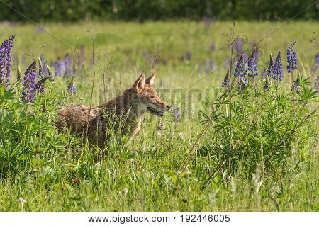 Coyote (Canis latrans) Stands in the Lupin - captive animal