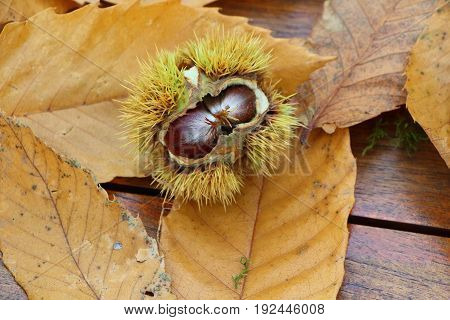 Chestnuts, husk and dead leaves during autumn