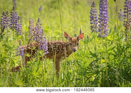 White-Tailed Deer Fawn (Odocoileus virginianus) Stares Out from Lupin Patch - captive animal