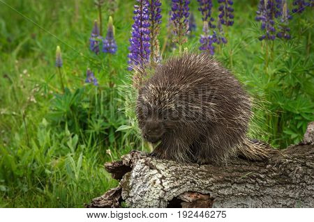 Porcupine (Erethizon dorsatum) Paw to Mouth - captive animal