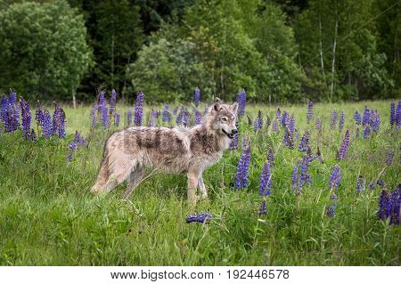 Grey Wolf (Canis lupus) Yearling Stands in Lupin - captive animal