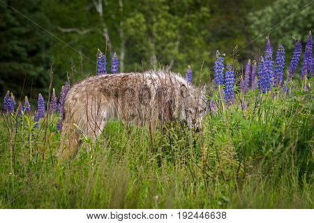 Grey Wolf (Canis lupus) Yearling Peers Out from Lupin - captive animal