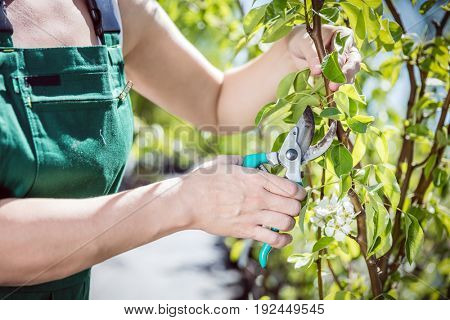 Women gardener cutting tree branch with garden shears.