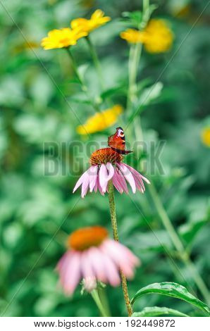 Vivid dark butterfly admiral is sitting on large pink summer flower over green background. Butterfly on a purple coneflower