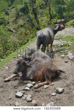 Wild asian cows , Annapurna national park, Nepal