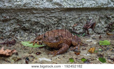 common Brown Toad enjoying the wet ground