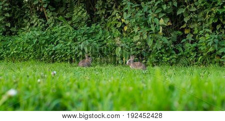 Pair of two baby rabbits eating fresh green grass