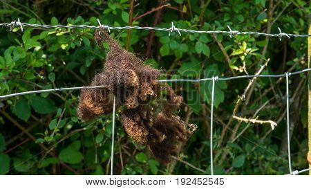 brown sheeps wool hanging on a barbed