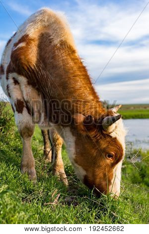 A cow grazes on a green meadow near a lake .