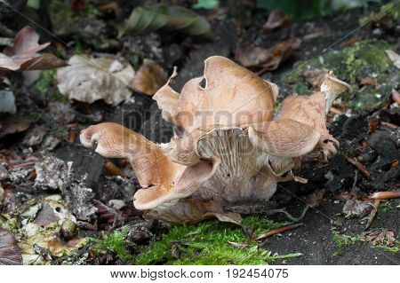 Panus conchatus Mushroom shot in the Czech Republic, Europe