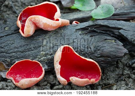 Sarcoscypha austriaca rare spring mushroom shot in the Czech Republic, Europe