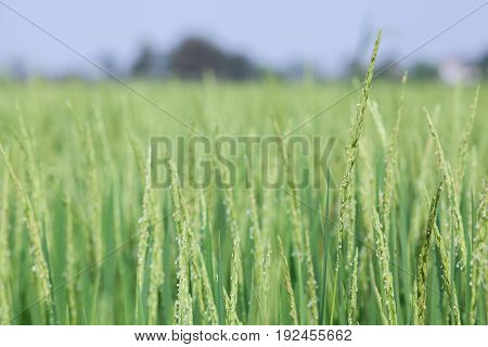 close up of  rice paddy field in rural thailand