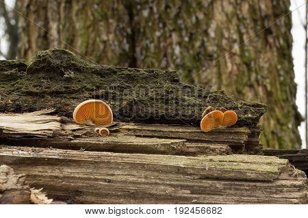 Rickenella fibula mushroom, shot in the Czech Republic, Europe