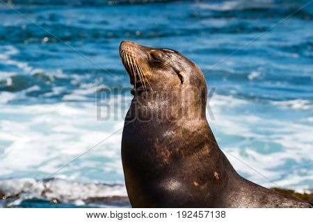 Side view of the head of a California sea lion (Zalophus californianus) sunning himself at La Jolla Cove in San Diego County.