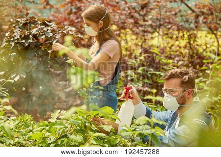 Gardeners man and woman in respirators taking care of plants and fertilizing it with sprayers in the hothouse.