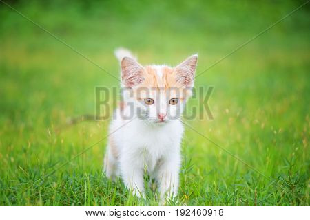 a small domesticated carnivorous mammal with soft fur, a short snout, and retractile claws. It is widely kept as a pet or for catching mice, and many breeds have been developed.