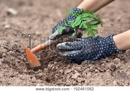 hands of gardener with hoe planting marigolds on the flowerbed