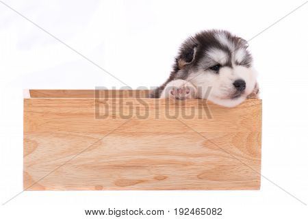 Siberian Puppy In Wooden Box Isolated